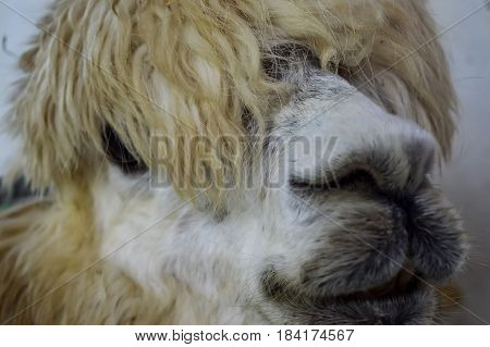 Alpaca's up close face with shaggy hair.