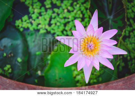 Lotus Flower In Water Tank With Blurry Lleaves
