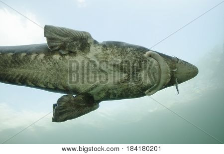 Detailed view of Sturgeon fish Huso Huso in water with sky background