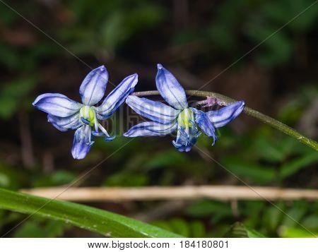 Siberian squill scilla siberica flowers macro selective focus shallow DOF.