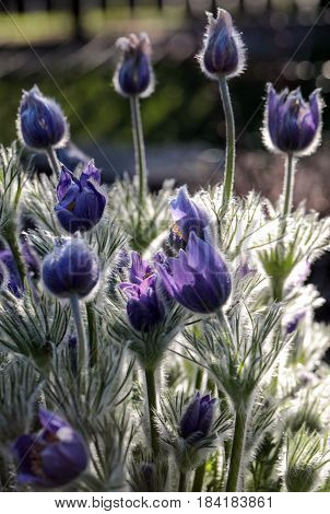 purple flower of the pasqueflower in the garden