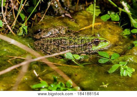A green toad sits in the water close up