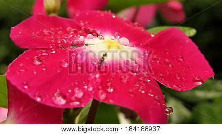 Impatiens Touch-me-not Busy Lizzie close-up macro of red flower covered in raindrops