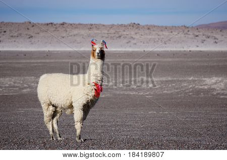 Lama looking at the camera wearing traditional decoration