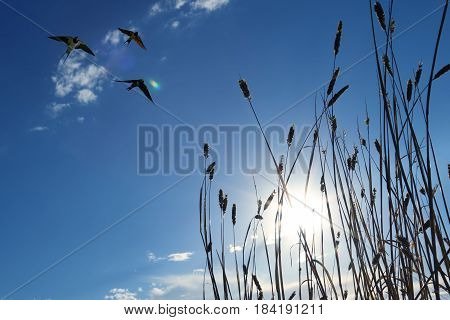 Free flying birds swallow on sunset sky background