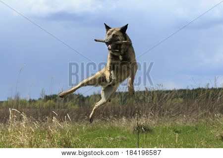Dog In a Jump With a Stick