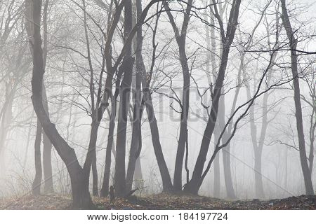 Fog in the wood hides trees and conceals shadows