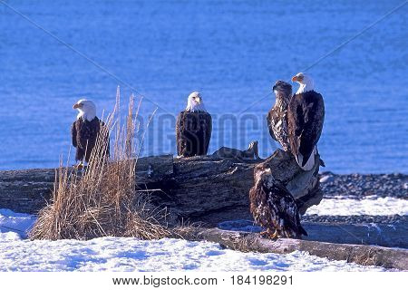 Group of mature Bald Eagles with young animals sitting together on beach logs near the water. Kachemak Bay Alaska