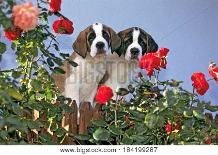 Saint Bernard two shorthair puppies by fence at rose garden watching