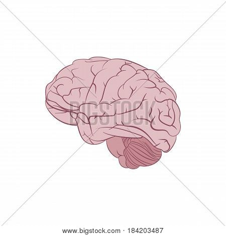 Human brain illustration isolated on white background. Side view realistic cartoon brain. Vector image