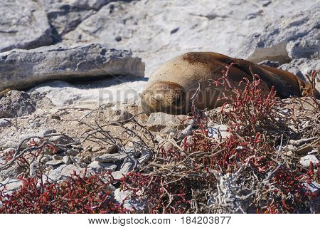 A sleepy sea lion napping in the cliffs of the Galapagos Islands