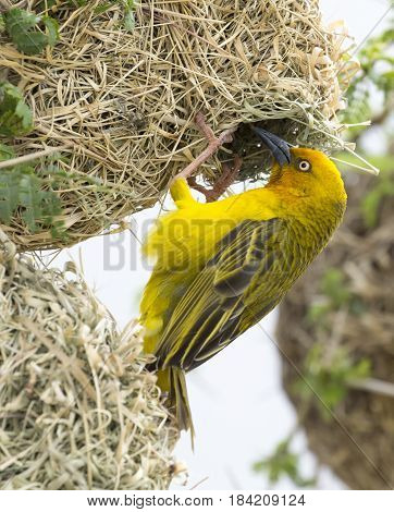 Male Cape Weaver bird at the entrance to it's nest