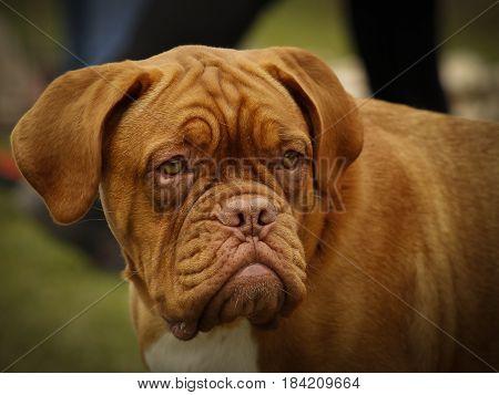 Dogue De Bordeaux - Beautiful Large Head