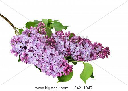 Lilac flowers (Syringa vulgaris) isolated on white background.