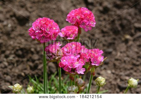 Bright Pink Armeria Flowers