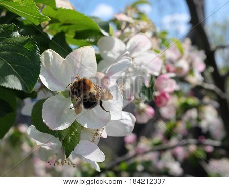Close-up of tree bumblebee pollinating white apple blossom flowers