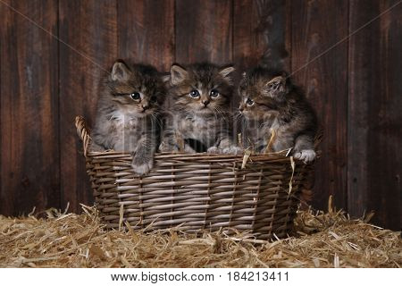 Adorable Kittens in a Barn Setting With Hay