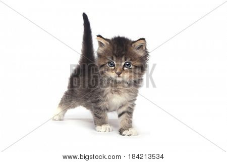 Adorable Tiny 4 Week Old Kitten on White Background