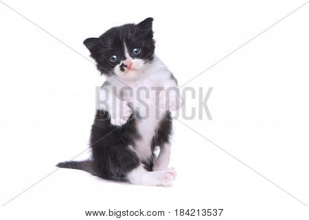 Adorable Baby Tuxedo Style Kitten On White Background