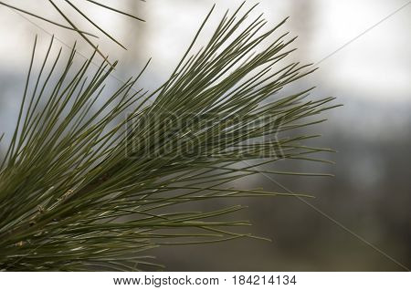 Branch of pine-tree with fir-needles green color. Early spring