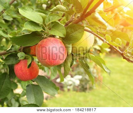 Ripe red apples and green leaves on apple-tree. On sunny green background