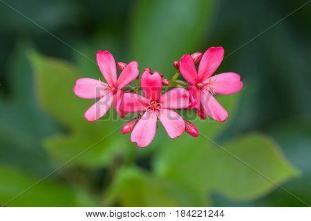 Peregrina or Spicy Jatropha flower in the garden