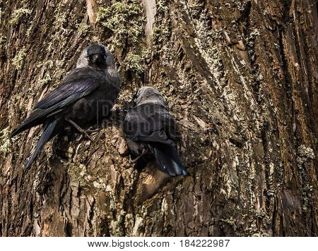Two Jackdows Fighting For A Hollow In Pine Tree