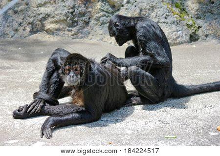 black Female Atelidae monkey is cleaning for balck Male Atelidae monkey body.