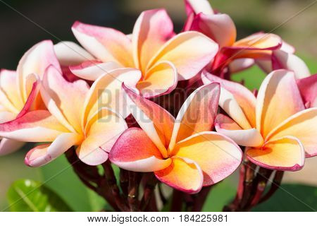 Pink frangipani flowers blooming in the garden