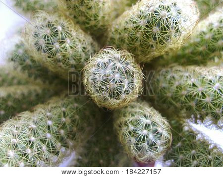 Nature green background, cactus tree. Close-up cactus, cacti, cactuses or cactus