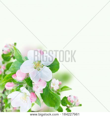 Apple tree flowers blossom with green leaves over white background