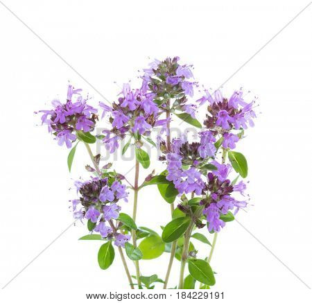 Few blooming sprigs of   Wild Thyme (Thymus serpyllum) isolated on white background