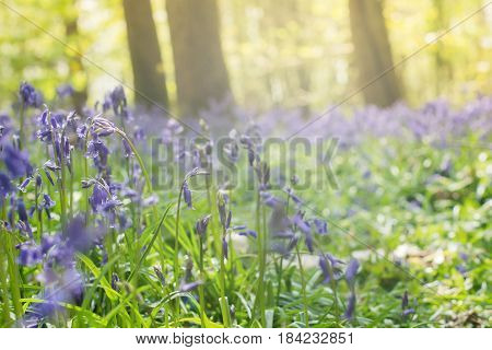Sun coming through the trees and carpets of bluebells in Abbot's Wood in East Sussex England selective focus