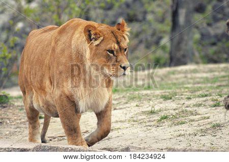 Lioness.