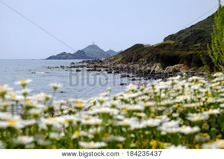 View on a famous Sanguiner Archipelago with a lighthouse built in the eighteenth century and the chamomile flowers on the seashore typical for the island Corsica France.