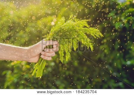 Bunch Of Fennel In A Hand Of A Man With A Splashes Of Water In Air.