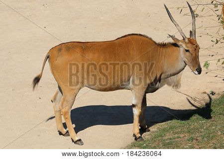 East African oryx also known as the beisa species of antelope from East Africa; Common beisa oryx (Oryx beisa beisa)