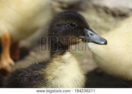 Little Black Duckling On The Farm