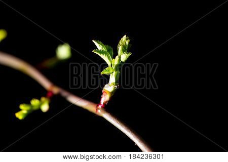 Bud grows on a tree branch on a black background