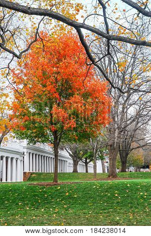 Charlottesville USA - November 1 2012: Bright orange autumn tree with leaves on lawn of University of Virginia dormitories during fall