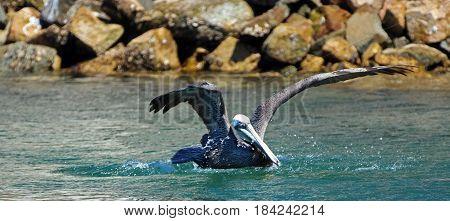 Brown Pelican landing in the water in marina in Cabo San Lucas Baja Mexico