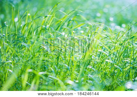 Fresh green grass background, closeup photo of a lush juicy grassy field in sunny day, natural wallpaper, spring time season