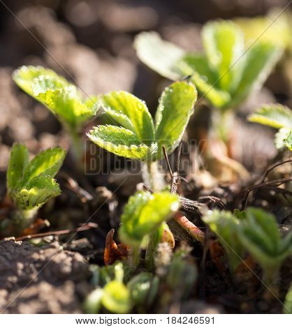 Strawberry leaves on the ground in the spring .
