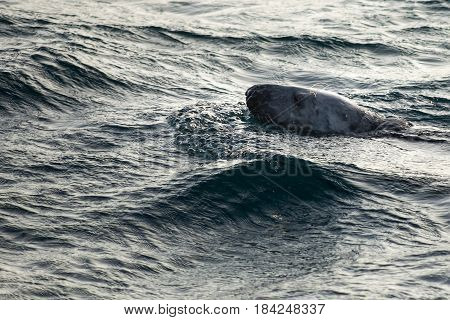 Seal swimming in water at Barents Sea in Arctic Ocean
