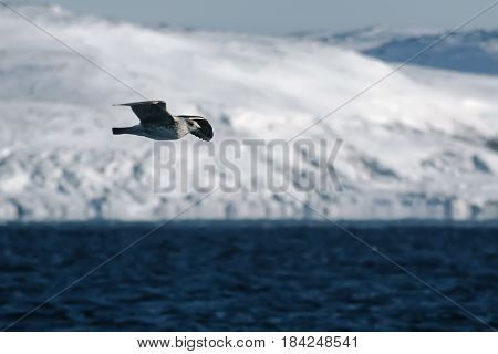 Arctic Seagull Is Flying Over Barents Sea In Arctic Ocean