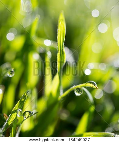 Green grass in the dew on the nature .