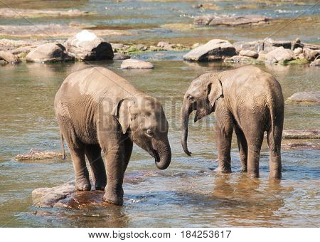 Young asian elephants having bath in river - Elephas maximus