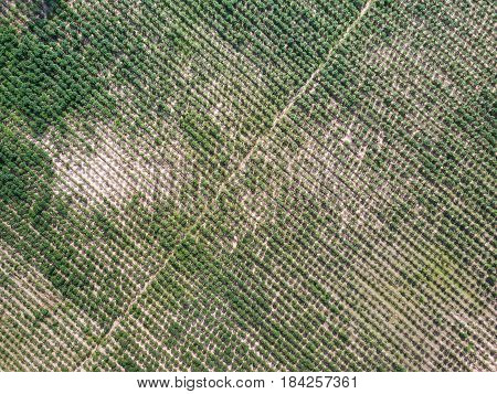Aerial View Of Cassava Plantation