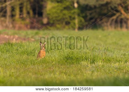 Single Wild Hare With Big Ears Sits On Meadow