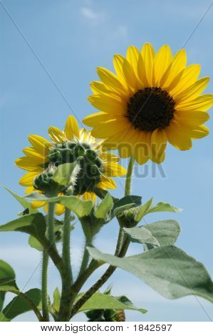 Sunflower On A Bright Day